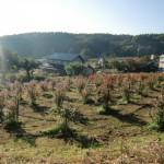 収穫後紅葉化したブルーベリー